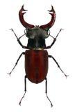 Escarabajo del cervus de Lucanus fotografía de archivo