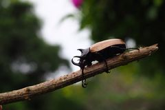 Escarabajo del Clary Foto de archivo