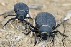 Escarabajo del desierto de Namib Fotos de archivo libres de regalías