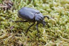 Escarabajo del ermitaño (eremita de Osmoderma) Imagen de archivo libre de regalías