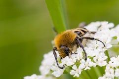 Escarabajo del escarabajo imagen de archivo libre de regalías