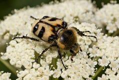 Escarabajo del fasciatus de Trichius Imagenes de archivo