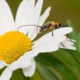 Escarabajo del fonolocalizador de bocinas grandes Foto de archivo