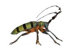Escarabajo del fonolocalizador de bocinas grandes Fotos de archivo libres de regalías
