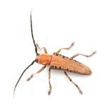 Escarabajo del fonolocalizador de bocinas grandes Fotografía de archivo libre de regalías