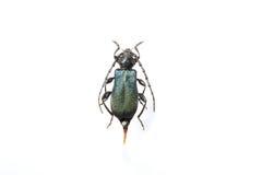 Escarabajo del fonolocalizador de bocinas grandes Imagenes de archivo