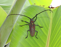Escarabajo del fonolocalizador de bocinas grandes fotografía de archivo