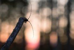 Escarabajo del fonolocalizador de bocinas grandes, aedilis de Acanthocinus en puesta del sol Imagen de archivo