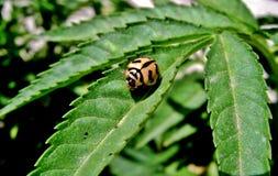 Escarabajo del leopardo Fotos de archivo libres de regalías