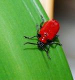 Escarabajo del lirio Imagen de archivo libre de regalías