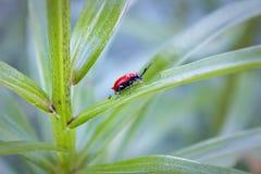 Escarabajo del lirio del escarlata (lilii de Lilioceris) Imagenes de archivo