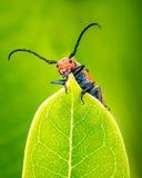 Escarabajo del Milkweed Fotos de archivo