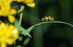 Escarabajo del pepino Foto de archivo libre de regalías