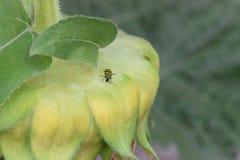 Escarabajo del pepino en el girasol 01 Foto de archivo libre de regalías