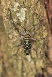 Escarabajo del perforador de la langosta foto de archivo libre de regalías