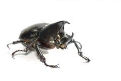 Escarabajo del rinoceronte imagen de archivo