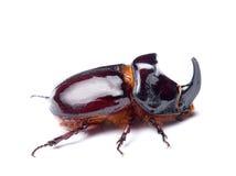 Escarabajo del rinoceronte Imagenes de archivo