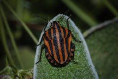 Escarabajo del Scarabaeidae Imágenes de archivo libres de regalías