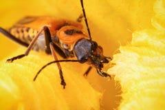 Escarabajo del soldado Imagenes de archivo