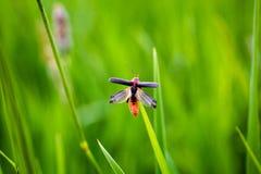 Escarabajo del soldado en vuelo Fotos de archivo
