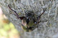 Escarabajo del sumatrensis de Xylotrupes foto de archivo libre de regalías
