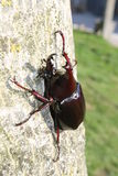 Escarabajo del sumatrensis de Xylotrupes fotografía de archivo