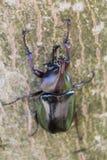 Escarabajo del sumatrensis de Xylotrupes Imagenes de archivo