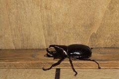 Escarabajo del sumatrensis de Xylotrupes Foto de archivo