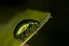 Escarabajo del Tansy en la hoja Foto de archivo