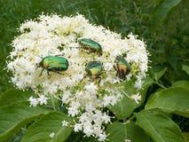 Escarabajo del verano Foto de archivo libre de regalías
