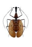 Escarabajo del violín aislado en un fondo blanco imagenes de archivo