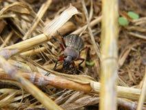 Escarabajo después de la cosecha Foto de archivo
