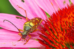 Escarabajo en coneflower púrpura fotografía de archivo