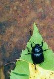 Escarabajo en la compañía de hormigas foto de archivo