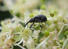 Escarabajo en la flor Imagen de archivo libre de regalías