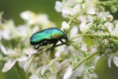 Escarabajo en la flor Imagen de archivo