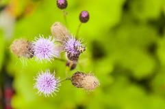 Escarabajo en la flor Fotos de archivo