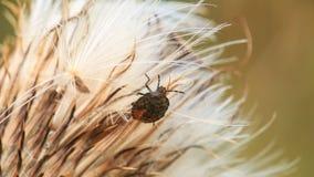 Escarabajo en la flor Fotos de archivo libres de regalías