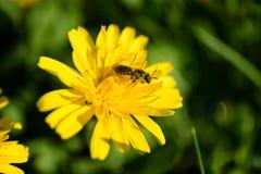 Escarabajo en la flor amarilla Imágenes de archivo libres de regalías