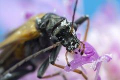 Escarabajo en la foto de la macro de la flor Fotos de archivo