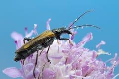 Escarabajo en la foto de la macro de la flor Fotos de archivo libres de regalías