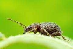Escarabajo en la foto de la macro de la hoja Fotos de archivo