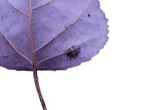 Escarabajo en la hoja del cottownwood Imágenes de archivo libres de regalías