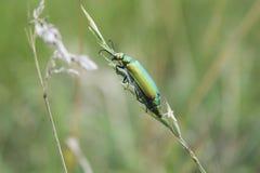 Escarabajo en la paja Fotografía de archivo libre de regalías