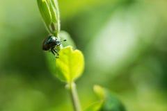 Escarabajo en la planta Fotografía de archivo libre de regalías