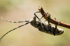Escarabajo en la ramificación foto de archivo libre de regalías