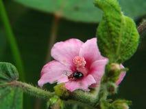 Escarabajo en los pétalos rosados brillantes imagenes de archivo