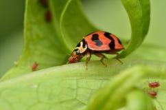 Escarabajo en Malasia Foto de archivo