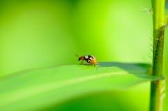 Escarabajo en Malasia Imágenes de archivo libres de regalías