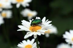 Escarabajo en margarita Imágenes de archivo libres de regalías
